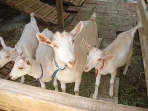 Las hermanas de izquierda a derecha: Zinha, Ayita, Goatita y Namid. Zinha es de Mayani y Ravi; Ayita, Goatita y Namid son de Amani y Ravi.