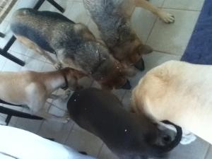 Los cinco perros disfrutando del queso mientras Sarah prepara la pizza.
