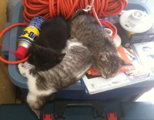 Mantuvimos al gatito gris oscuro: Brunito. Mittens (gris claro) fue a una familia con cinco niños y Sombrita con un vecino/amigo. Sin importar cuántas veces los llevábamos a una cama calentita, seguían prefiriendo subirse a la caja de herramientas de Paul.
